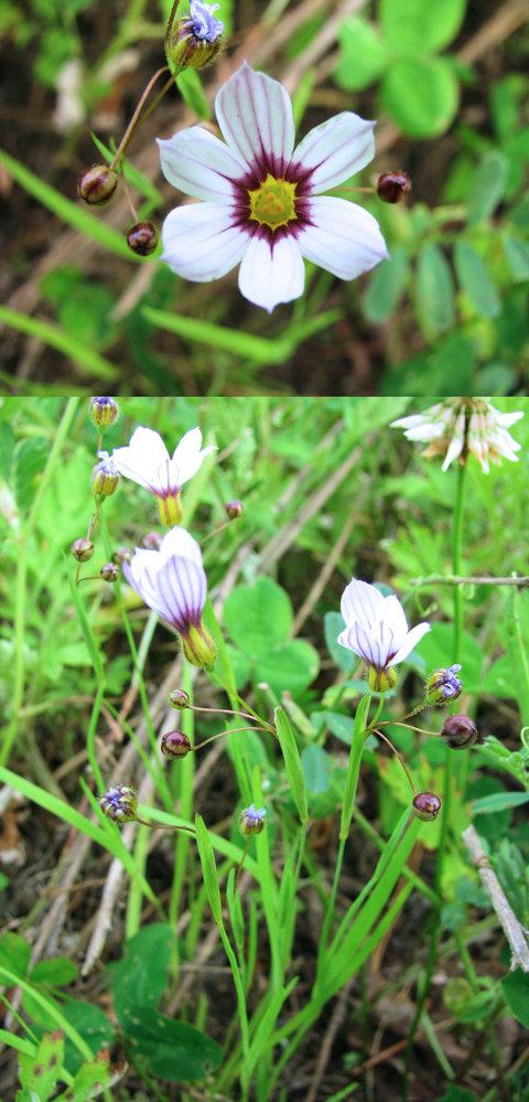 5月の標高300m~400mくらいの低山に咲いていた花です。 花の直径は1cm~1・5cmくらいの小さな花です。 花びらに紫のスジが入っています。 何という名前の植物でしょうか??