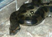 体重100㌕のオオアナコンダと、同じ体重のアミメニシキヘビではどちらが強いでしょうか?