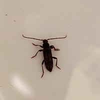 虫に詳しい方教えてください。 この虫はなんという虫ですか?我が家の天井にいました。箱で必死で捕まえましたが怖くてこれ以上何もできず箱の中にいます。私は虫が苦手ですが子供が飼いたいと言っています。ゴキブリですか?飛びますか?なんという虫なのか教えていただきたいです。大きさは3cmほどです。