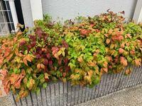 職場にこのようなカラフルな葉っぱの植物が植えられているのですが、品種や植物名が気になっております。 特徴をもとに調べてみたのですが、これという決定的な情報が得られませんでしたので 分かる方がいらっしゃれば教えていただきたいです。   宜しくお願いいたします。