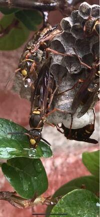 蜂の生態  アシナガバチだと思うのですが、 水を口から吐き出しています。 この行動は何のためにしているのでしょうか?