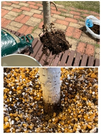 未だにウンベラータの芽が出てきません。 過去にこのウンベラータについては質問していて、植え替えてから3回ほど水やりの所にメネデールを与えていました。 植え替えの時、根っこがすぽっと取れてしまってこんだけになってしまっていました。 そして、今土被ってる部分の幹は黒くなっています。黒いものでしょうか?(水やり2日前にしてます) もうこのウンベラータは諦めた方がいいでしょうか。。