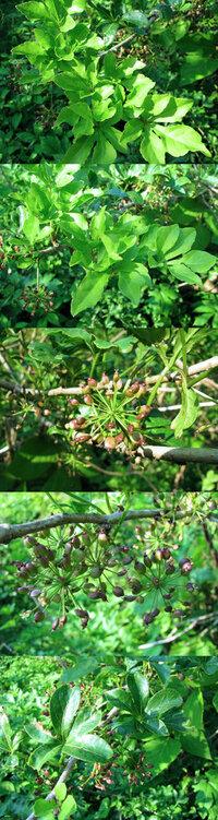 5月の標高300m~400mくらいの低山にあった樹木です。 線香花火のような実? が沢山ついている植物です。 何という名前の植物でしょうか??