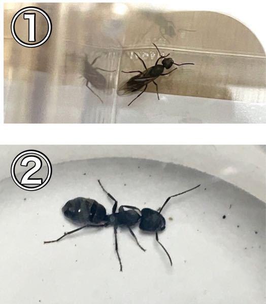 この2匹のアリ達は女王アリでしょうか? この画像の①と②のアリは女王アリでしょうか?