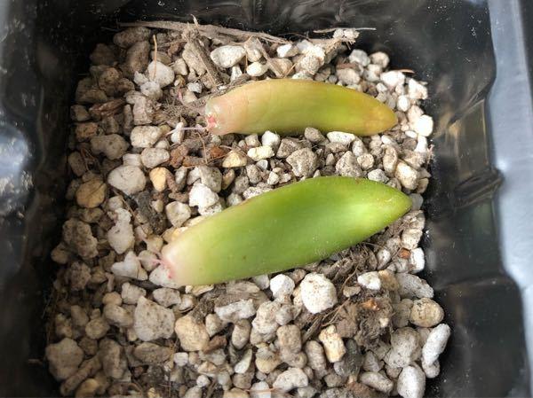 多肉植物の葉挿しについて。 根が出てきたものは、このように土の上に置いておけばよろしいでしょうか
