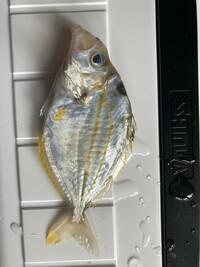 これはなんという名前の魚かわかる方いますか? 堤防でのサビキで釣れたものです。