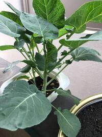 菊ブロッコリーの種を植え だいぶ大きくなったのですが  これはまだ育ちますか?  もう収穫しても大丈夫ですか?   初めて菊ブロッコリーを育てたの  ですが これ菊ブロッコリーで  あってますか?  何かネットで見るのと何か違う  感じがします。