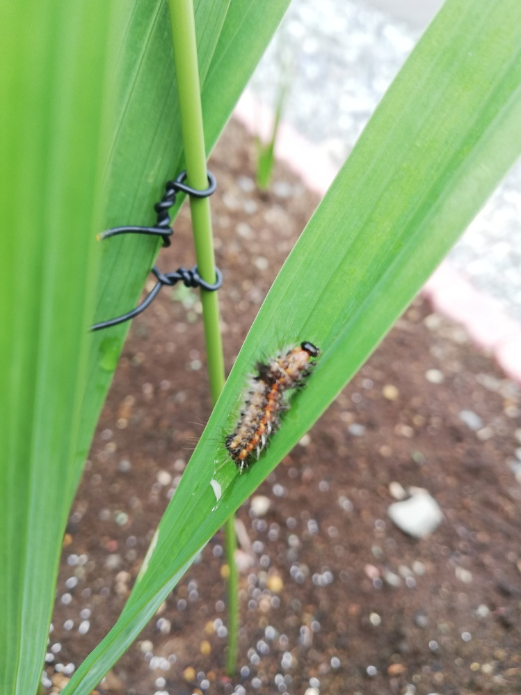 虫嫌いの方ご容赦願います。 グラジオラスを育てています。 教科書では虫がたからず、初心者でも育てやすい、とよくありますが、とんでもなく、写真の毛虫とネキリムシに散々やられました。 このケムシは何の幼虫でしょうか? また対策ご存知ならよろしくお願い致します。 オルトランは月1くらいでまいてました