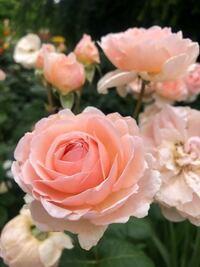この薔薇の名前を教えてください。