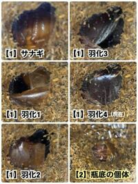(写真あり)カブトムシ羽化後の質問です。 ビンに入れ1匹ずつ幼虫を飼育しました。  【1】羽化したようなのですが飼育ケースに移すタイミングや注意点を教えてください! ビンいっぱいにマットを入れてしまったので地上に出られないと思うのです。  【2】もう1匹はビン底に蛹室を作っていて羽化したかどうかよく見えません。どうしたら良いでしょうか?  初めての飼育のためとても緊張しています。 アドバイス...
