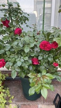 失礼します(*ΦωΦ)ฅ 我が家にある赤いバラの名前がわかりません。 どなたか教えてください! 深い赤、四季咲き、樹形は横張り、微香、先進むとグリーンアイ、少し項垂れて咲く、 大きさは8cmから10cm、よく咲く  写真も添付します! よろしくお願い致します。