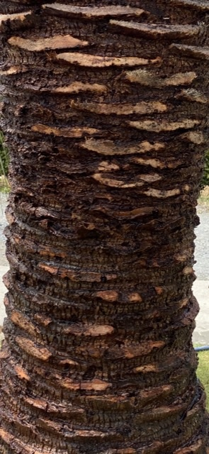 ココスヤシについて質問です。 5月中旬に幹の形を整えるために画像のような感じに剪定しました。 時期が悪かったのか現在、切り口から樹液のようなものが滲み出てきています。 この反応は正常なのでしょうか? 病害虫によるものではと心配です。 このまま放置で良いのか、何か対策が必要なのかも併せてご質問させていただきます。