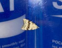 なんていう種名の蛾ですか?