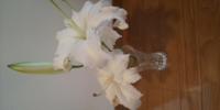 百合の切り花ですが、一番最初に咲いた左下の花が枯れはじめています。まだ一番上はつぼみです。下の花が枯れてきたら、下の花は切っても問題ないでしょうか?
