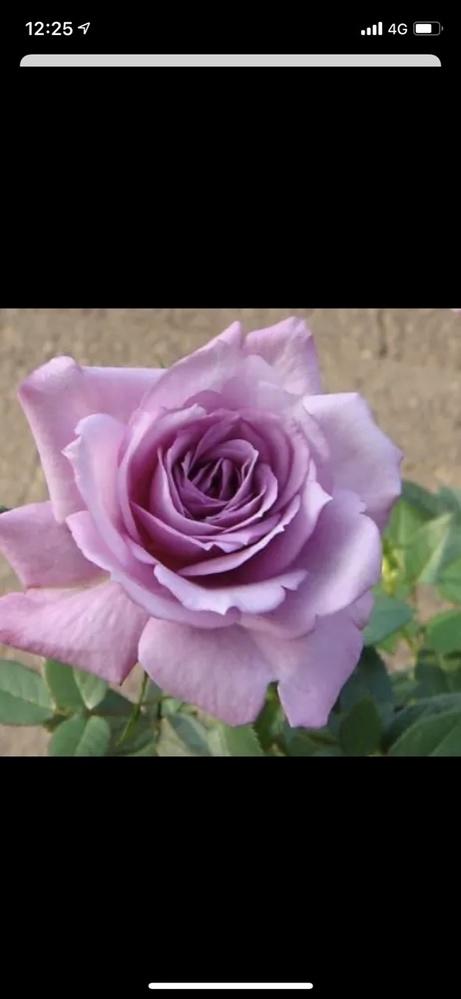 超強健強香アメリカ原産小型バラ苗 樹高/樹形50~90cm/直立コンパクト 四季咲き 多花性 繰り返し咲く 薄紫の剣弁高芯咲き 花径6cm 香り強香 甘みのある強いブルー香 日光浴よくさせると花弁の端が赤みを帯びた濃い色になる。 生育旺盛で病気に強い強健種 との事ですが品種がわかりません どなたかわかる方がいましたら 教えて頂けると嬉しいです。 よろしくお願いします。