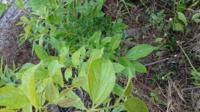 草むらを草刈りしてたら木らしき植物を発見しました。この木は何ですか?葉っぱからわかりますか??