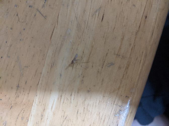 【虫の画像あり】 画像見にくすぎてすみません。 昨晩、蚊を倒したのですが、この蚊はアカイエカですか…?(画面真ん中らへんにいます。)長い足を合わせたら、約1cmくらいあった気がします。