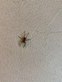 このクモはなんというクモですか?(写真は頭が下です、少し茶色っぽいです) 2、3日前から家にいて、よく見る黒に白いスジの小さいクモとは違って足が長いです。 大きさは体が1センチ弱、脚も含めて2センチちょっとです。Gを食べるというアシタカグモの子供でしょうか?Gがいると現れると見たことがあり心配です。  あと、ニホントカゲを飼っていて小グモを見つけたらエサにあげているのですが、毒などないクモで...