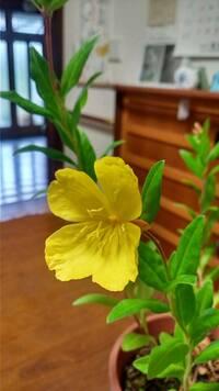 この花は何マツヨイグサでしょうか。しぼんでも赤くならなかったのでコマツヨイグサではないと思われます。