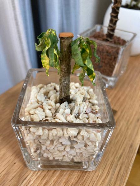 この間クロトンという植物を観葉植物として購入したのですが、ここ数日で葉っぱがどんどん枯れていっています。購入したばかりの時は元気でした。 水やりもしていて、日中は日に当たる場所に置いているのですが、どうしたら元通り元気になるでしょうか? 幹の下の部分だけ濡れているのが気がかりなのですが、何か関係はありますでしょうか?