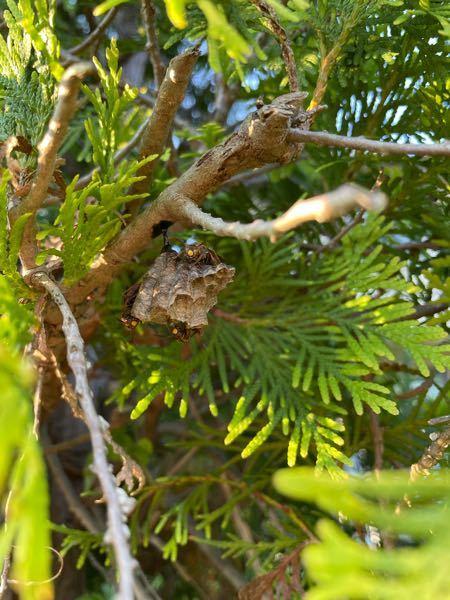 恐らく蜂の何かだとは思うのですが、巣を作っています。 このくらいの大きさであれば自分で取ってしまっても大丈夫でしょうか。 それとも、放っておいても大丈夫でしょうか? 家の庭の葉です。