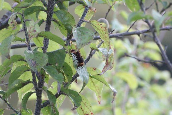 蜂の駆除について。梅の木に蜂が居ます。駆除したいのですが、おそらくアブラムシが原因かと思われ、常に木の周りに4匹くらいの蜂が居ます。その為、アブラムシの駆除も困難です。専門業者しかありませんよね?また 、写真の蜂は何蜂でしょうか?