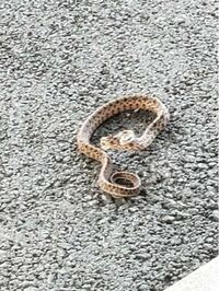 ヘビについて質問です。 この写真のヘビの名前分かる方いますか? 宮古島で発見したのですが、分かる方いましたら是非ヘビの名前教えて欲しいです。お願い致します!(*^^*)