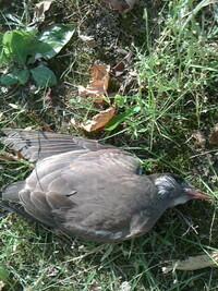 何の鳥でしょう? 草むらで死んでました。