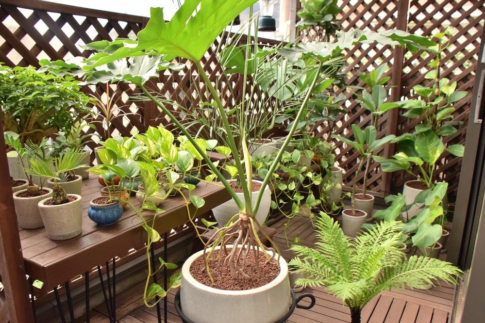 ハイドロボールでの植物育成についての質問です。 なぜ世間一般的にハイドロカルチャーで植物を長期栽培するのは無理と言われているのでしょうか。 私も過去に色々と失敗したことはありましたが、今現在はゴムの木系とサトイモ系を中心に、30鉢以上育てており、4年以上成長させ続けれています。 ヨーロッパの方ではハイドロボールを使用した観葉植物の育成方法は良く行われていると聞いた事があるのですが、実際をご存知の方はいらっしゃいますでしょうか?? ちなみに私の方法は穴開き鉢を使用しているため、厳格にはハイドロカルチャーとは呼べないですが、 鉢の底から順に超大粒15%→中粒55%→小粒パックの中の大きい粒のみ30%くらいの比率になるように植え付けており、越冬は屋内で行っています。 穴のない鉢では水が腐りやすく根腐れしやすい上、室内では成長が遅いため、肥料負けしてしやすく失敗される方が多くて当たり前だとおもうのですが… 土栽培でも失敗される方はいらっしゃっいますよね。 私が思うに、穴開き鉢を使用したハイドロボール育成は根腐れしにくく、衛生的で、非常に理想的なシステムだと思われるのですが、なぜ誰も行っていないのかが不思議でしょうがないです。 他にされている方、ヨーロッパでの方法をご存知の方いらっしゃいましたら、宜しくお願いします。