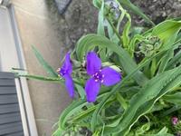この花の名前は何でしょうか? 持ち主に聞いたのですが、「勝手に生えてきたものでわからない。綺麗だからそのままにしている。」とのことなのですが…。