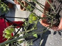 トマトの品種を教えてください。赤くなるのか?もう食べられるのか?よろしくお願いします。