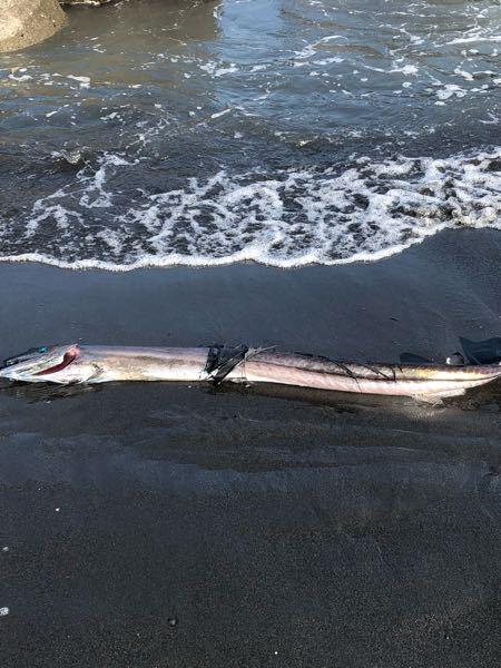 静岡県の三保の海岸で瀕死の状態で打ち上がっていた深海魚?なのですが何という魚ですか?