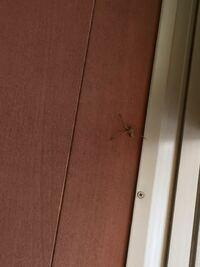 これってアシダカグモですかね? だとしたら、ゴキブリを食べてくれるいい虫だと聞きました。 でも、足が3本しかありませんし大丈夫でしょうか? 画像見にくくてすみません。