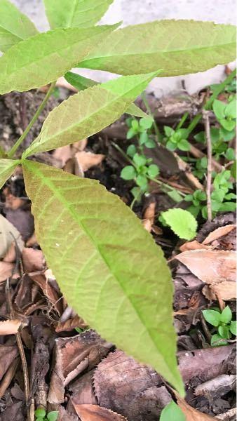 トチの苗木なのですが、この茶色っぽくなった部分は日焼けしたのでしょうか?