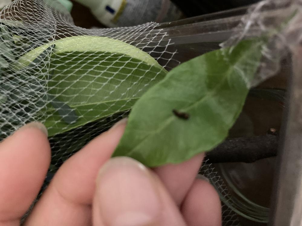 アゲハ蝶の1齢幼虫です。 干からびているようですがもー、死んでますか? 脱皮する前なのか小さ過ぎて分からないんですが。