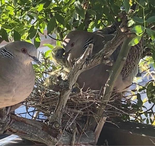 鳩の見分け方 自宅のベランダのモッコウバラに鳩が巣を作りました。 無事に卵が孵り、夫婦で子育て中です。 そこで質問ですが、雌雄の見分け方を教えてください。2羽が揃っているのは、あまりないので見比べる機会は少ないです。 サイトを見ても良くわかりませんでした…