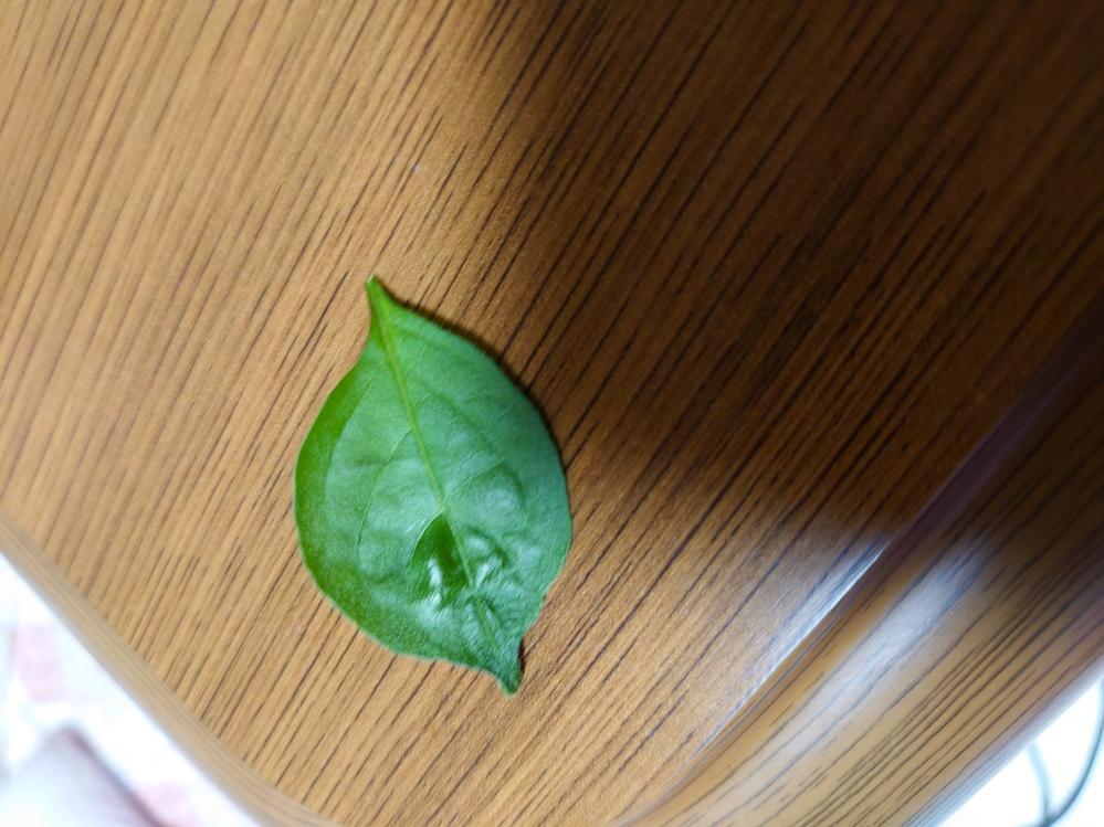 プランターでシシトウを育てています。 花が咲きシシトウは出来てるのですが…最近葉っぱの先が少し縮む感じになってきてます 虫はいないようなんですが…原因がわからなくて困っています。 また、その葉は...