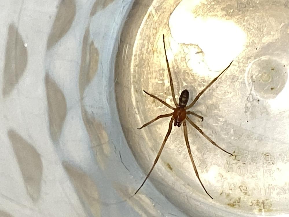 家の洗面台のコップの中に蜘蛛が入って出られなくなっているのを見つけました。 色々検索したのですが、この蜘蛛の種類がわかりません。下に画像を載せます。 物知りな方、ぜひご教示ください。 体の大きさは、足の端から端までで3cmくらいの小さい蜘蛛です。 可愛いので、あわよくば飼いたいと思っているのですが、エサは何がよいのでしょうか? よろしくお願いします。