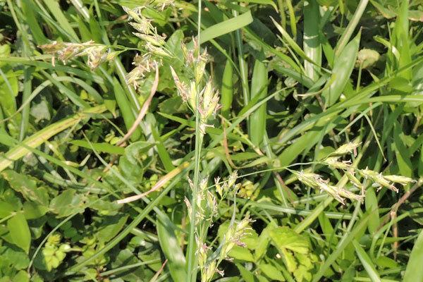 昨日午前中、北九州市の郊外を歩いていた時に目についた野草です。名前をご存じの方、教えて下さい。3つあります。2つ目です。 イネ科とは分かります