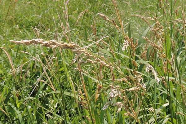 昨日午前中、北九州市の郊外を歩いていた時に目についた野草です。名前をご存じの方、教えて下さい。3つあります。最後の3つ目です。 これもイネ科だと分かります。ひょっとして2つ目と同じものかも分かりません