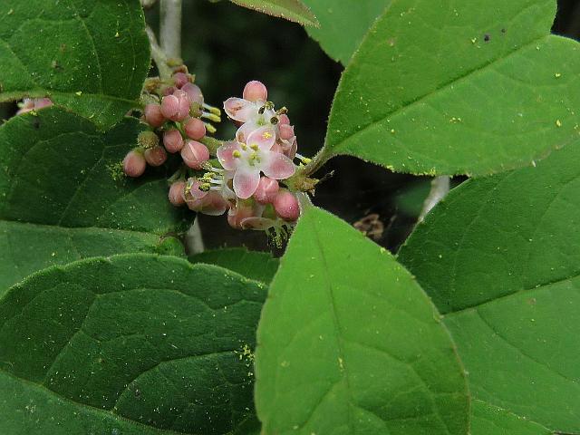 この樹木の花をご存知の方、名前を教えてください。 6月初旬、里山で見かけました。 葉腋に小さな四弁花を幾つか付けていました。