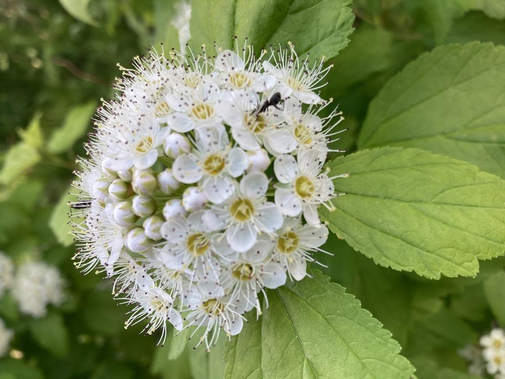 この白い花はなんでしょうか? 札幌市内中心部の公園に植栽されていた木の花です。 画像の加工はしていません。 お分かりになる方いらっしゃいましたら、よろしくお願いいたします。