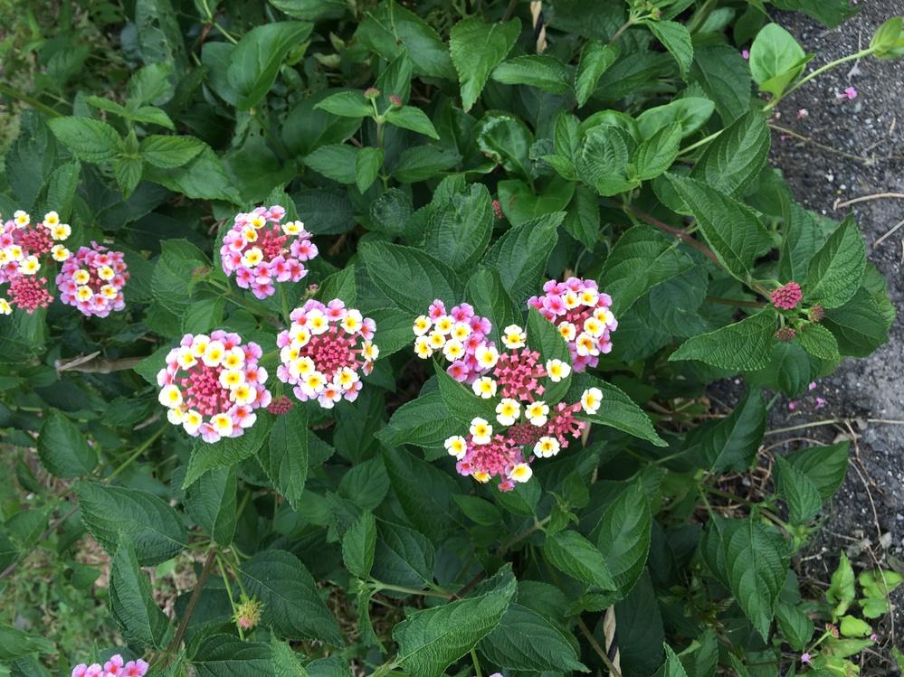 このお花の名前はなんですか?