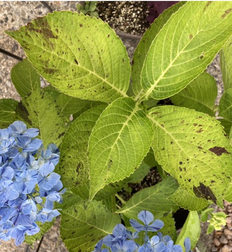 昨年購入した紫陽花の葉っぱの色が黒く変色しています。葉っぱの色も黄緑色で濃くないです。蕾がつく前からこんな感じです。 病気かなにかでしょうか。丸い斑点ではないのでうどんこ病ではなさそうなのですが。。 花はしっかり咲いてくれています。剪定したら、来年は元気に咲いてくれるでしょうか。 土は、「青アジサイの土」という専用のものを使用し、肥料はあげておりません。蕾がつく頃に、日向から半日陰に移しています。 あじさいに詳しい方、よろしくお願いします。