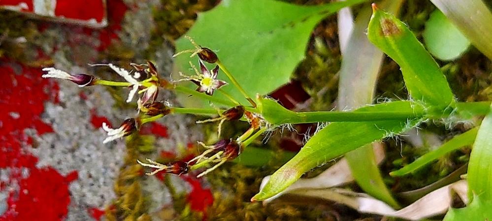 この植物は何というのでしょうか? アケボノソウにも似てるような気がするのですが。