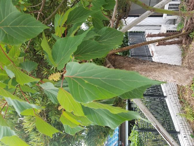 この木の名前どなたかおしえてください