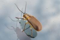 どなたか、この昆虫の名前を教えていただけないでしょうか。