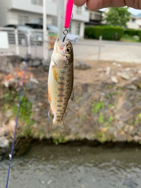これはニジマス? それともヤマメ? dコンパクト に食ってきました。 自分ここではニジマスしか釣ってないです
