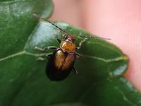 このハムシは何という種類でしょうか。