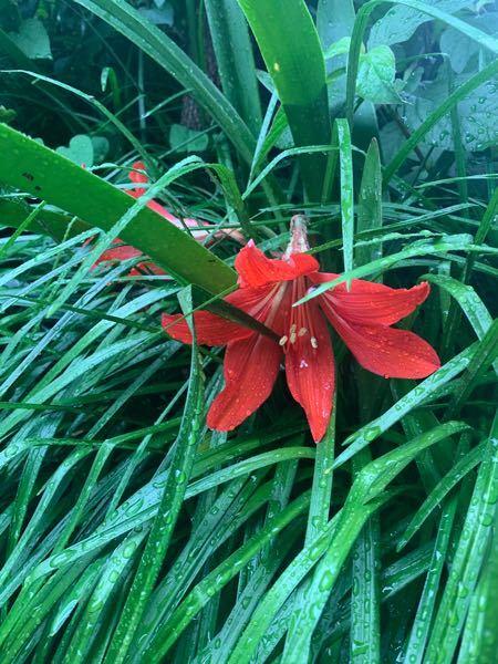 庭に生えてました。 これはなんの花でしょうか? 雑草しか生えてないところに 赤い花が…